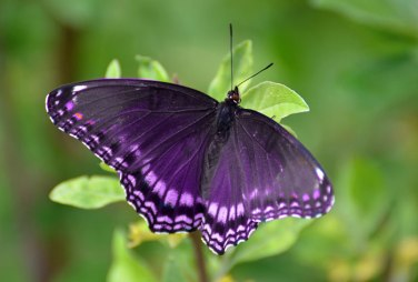 purple-butterfly1